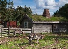 Świniowaty gospodarstwo rolne Zdjęcia Stock