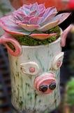 Świniowaty plantator - Echevaria Afterglow rośliny przygotowania Obrazy Stock