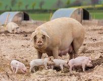 Świniowaty uprawiać ziemię obrazy royalty free