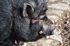 świniowaty wietnamczyk Zdjęcie Stock