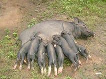 Świnka. fotografia stock
