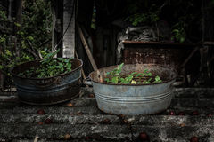 Świrzepy w starego metalu ośniedziałych pucharach Zdjęcie Stock
