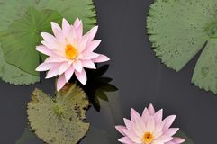 Śwista kwiatu lotos z zielenią opuszcza tło obrazy royalty free