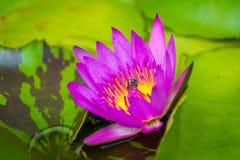 Śwista lotosowy kwiat w basenie zdjęcie royalty free