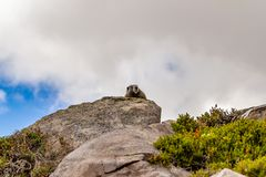 świstak umieszczał wysoko w górę głazu na przeciw chmurnemu niebu z błękitnym seansem zdjęcia royalty free
