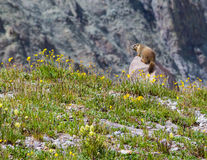 Świstaka dopatrywanie w Żółtych Wildflowers Fotografia Stock
