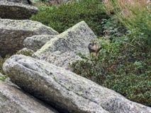 Świstaka Marmota marmota w naturalnym siedlisku, Pyrenees, południe Francja fotografia stock