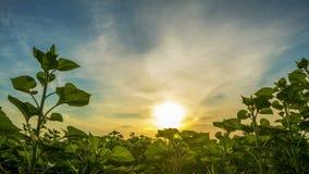 Świt nad zielonymi słonecznikami Czasu upływ zdjęcie wideo