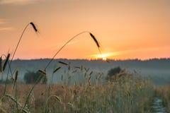 Świt w pszenicznym polu obrazy royalty free