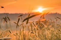 Świt w pszenicznym polu fotografia royalty free