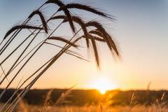 Świt w pszenicznym polu zdjęcie royalty free