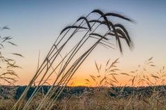 Świt w pszenicznym polu obraz stock