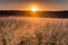 Świt w pszenicznym polu zdjęcia royalty free