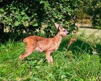 źrebiąt jeleni europejscy roe Zdjęcia Royalty Free