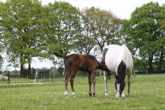 źrebię koń Obraz Royalty Free