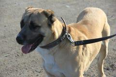 Źrebię koloru środkowy azjatykci pasterski pies zdjęcie royalty free