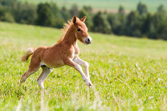 Źrebię mini koński Falabella Zdjęcia Royalty Free