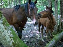 Źrebię obwąchuje dorosłą końską twarz fotografia stock