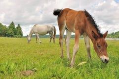 Źrebię pastwiskowa trawa z klaczem zdjęcie royalty free