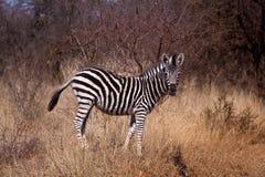 źrebię zebra Fotografia Royalty Free