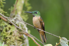 źrebięcia breasted brillant hummingbird Obraz Stock