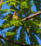 źrebięcia breasted tanager Fotografia Royalty Free