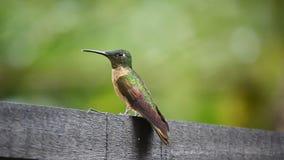Źrebięcia Hummingbird, Heliodoxa rubinoides, zakończenie up w Ekwador zdjęcie wideo