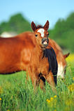 źrebięcia koński dzieciaka gazon figlarnie Obrazy Stock