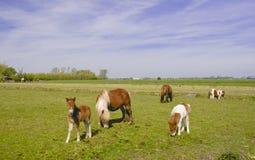źrebięcia konia łąka Zdjęcia Royalty Free