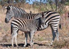 źrebięcia macierzysta równiien zebra Fotografia Royalty Free