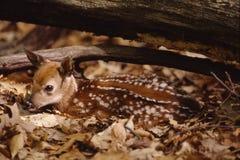 źrebięcia portreta whitetail Fotografia Stock