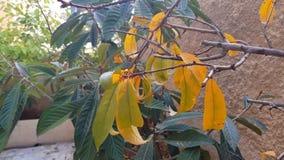 Żółci brzoskwini drzewa liście zbiory