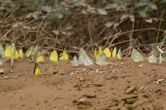 Żółci butterflys na ziemi zdjęcie stock