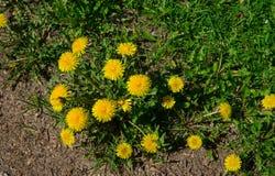 Żółci dandelions Jaskrawi kwiatów dandelions na tle zielone wiosen łąki obraz stock