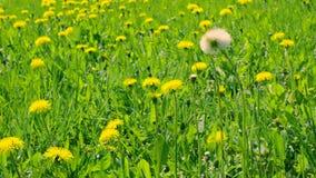 Żółci dandelions na zielonej haliźnie Zamyka w górę kwitnących dandelions na łące zbiory wideo
