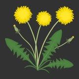 Żółci dandelions z zielonymi liśćmi na czarnym tle Zdjęcie Stock