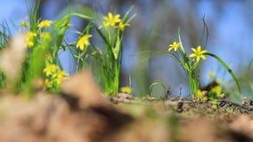 Żółci dzicy kwiaty kiwa w wiatrze zbiory wideo