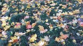 Żółci i czerwoni liście klonowi na trawie mieszają wewnątrz wiatr zdjęcie wideo