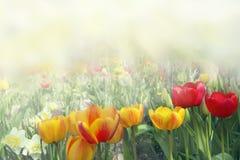 Żółci i czerwoni tulipany na kwiatu łóżku blisko mieścą zamknięci wiśnia kwiaty uprawiają ogródek czerwonej wiosna tulipany w gór Obrazy Stock