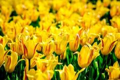 Żółci i czerwoni tulipany od Holandia Zdjęcia Stock