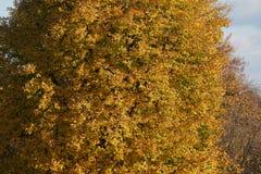 Żółci i pomarańczowi jesieni drzewa w parku Fotografia Stock