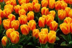 Żółci i pomarańczowi tulipany z wodnymi kroplami obraz royalty free