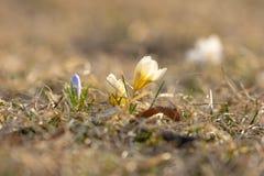 Żółci i purpurowi krokusy wokoło kwitnący w wczesnej wiośnie, przeciw ładnemu bokeh tłu, zbliżenie zdjęcia stock
