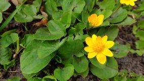 Żółci jaskierów kwiaty w ogródzie botanicznym jeden pierwszy kwitną w wiośnie obraz royalty free