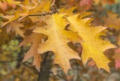 Żółci jesień liście dębowy zbliżenie zdjęcia stock