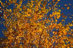 Żółci jesień liście na drzewie fotografia stock