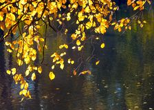 Żółci jesień liście z odbiciem na stawie nawadniają tło obrazy stock