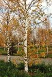 Żółci jesieni brzozy drzewa w Zaryasye parku w Moskwa Fotografia Royalty Free