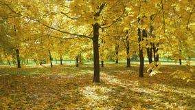 Żółci Klonowi drzewa i ulistnienie na ziemi w parku w jesieni Sunbeams Iść przez liści zdjęcie wideo