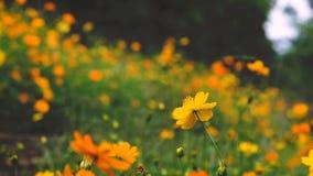 Żółci kosmosy kwitną w ogródzie, Tajlandia zdjęcie wideo